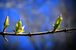 spring-budding-trees